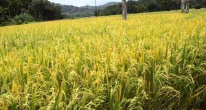 محافظ دمياط يحظر زراعة الأرز في 10 مناطق